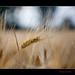 139/365 Wheat in the field
