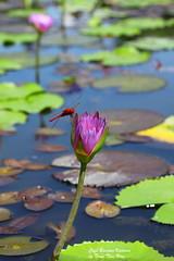 Lily water (Bonjour Vietnam Cafe) Tags: voyage travel flowers nature fleur centre vietnam hoa gragonfly libelule vitnam hoasng nng thinnhin chunchun mintrung bonjourvietnam dulichvietnam360 trnthiha trnthihaphotography thihophotography bonjourvietnamcafe