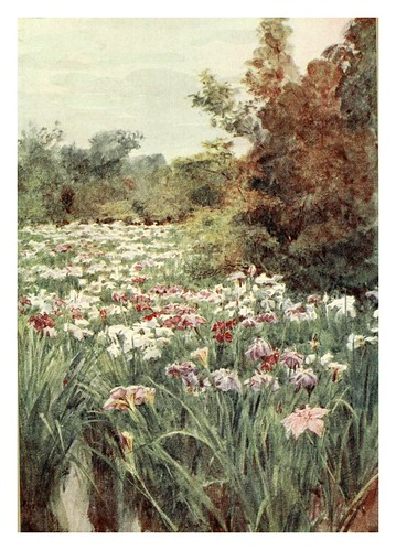018-Iris en Kitano-Kyoto-Japanese gardens 1912-Walter Tyndale