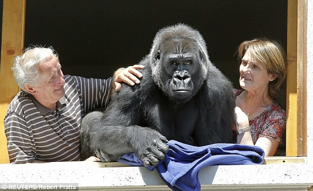 A guy and his gorilla Huge beast treated like one of the family by zoo owner  2