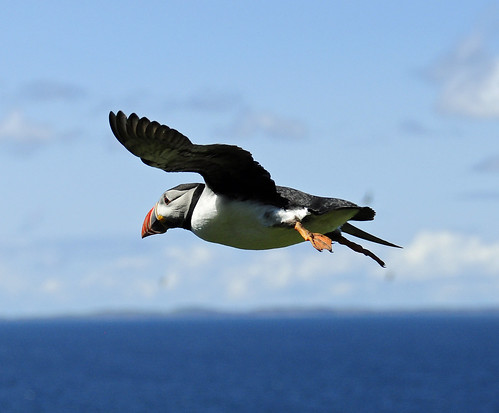puffin in flight .