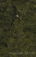 "Bald Eagle • <a style=""font-size:0.8em;"" href=""http://www.flickr.com/photos/63501323@N07/5885574067/"" target=""_blank"">View on Flickr</a>"