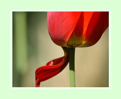 TULIP (hans-jrgen2013) Tags: flower germany spring blumen tulip ostern eastern frhling tulpen