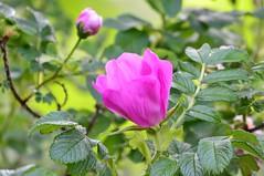 Fleetwood Gardens (careth@2012) Tags: flowers flower closeup spring nikon blossom britishcolumbia blossoms bloom blooms springblossoms d3100 nikond3100