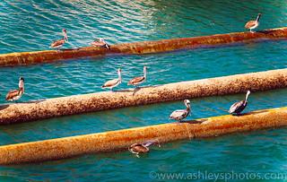 Pelicans sunbathing
