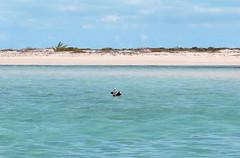 Iguana Island - Turks & Caicos (fedepo18) Tags: ocean sea bird beach water de island islands mar honeymoon little turquoise playa pelican luna iguana miel caribbean cay turks caicos ocano providenciales