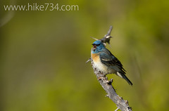 "Lazuli Bunting • <a style=""font-size:0.8em;"" href=""http://www.flickr.com/photos/63501323@N07/14385098084/"" target=""_blank"">View on Flickr</a>"