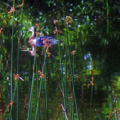 Homage to Monet (wandala2012) Tags: marinheadlands marinmagazine millvalley tennesseevalleybeach california pond birdsinmarinheadlands