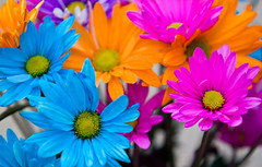Colorful daisies (Mark Chandler Photography) Tags: flowers flower color daisies canon neon dof bokeh daisy tinted xsi 450d markchandler