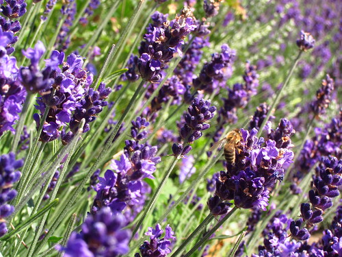 Lavender at Kew