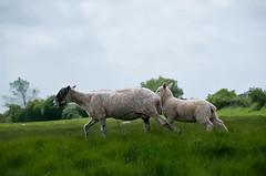 _DSC2630smaller remask3 (Kulu40) Tags: nikon sheep gloucestershire lamb ewe d300 neatimage 18200vr oneraw topazclean topazsimplify topazdetail topazremask3