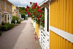 Red roses (Hkan Dahlstrm) Tags: red roses skne sweden neighborhood f25 skane 2011 ramlsa ef50mmf25compactmacro brunnspark canoneos5dmarkii ramlosa sek