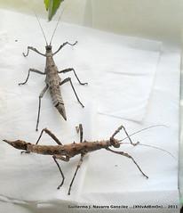 Sungaya (Guillermo J. Navarro (XhIvAdEmOn)) Tags: insects terrarium phasmids terrariums peruphasma schultei platymeris sungaya inexpectata xhivademon shivademon peruphama