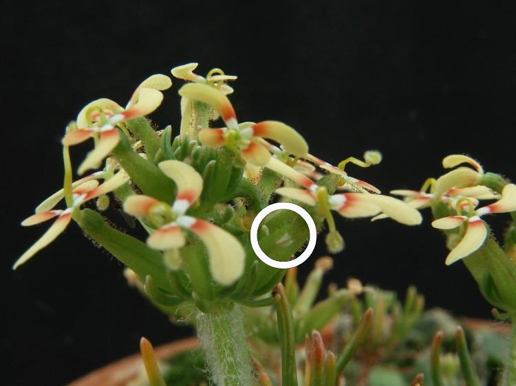 triggerplant012: Stylidium eriopodum 5890191407_bee8527407_b