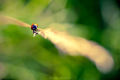 ---⨸------- (Marc Benslahdine) Tags: red macro green nature bokeh ladybug coccinelle lightroom canonef100mmf28macrousm canoneos5dmarkii ©marcbenslahdine marcopixcom