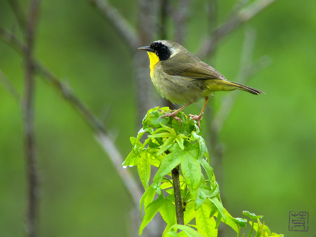 Common Yellowthroat, Apr 2011