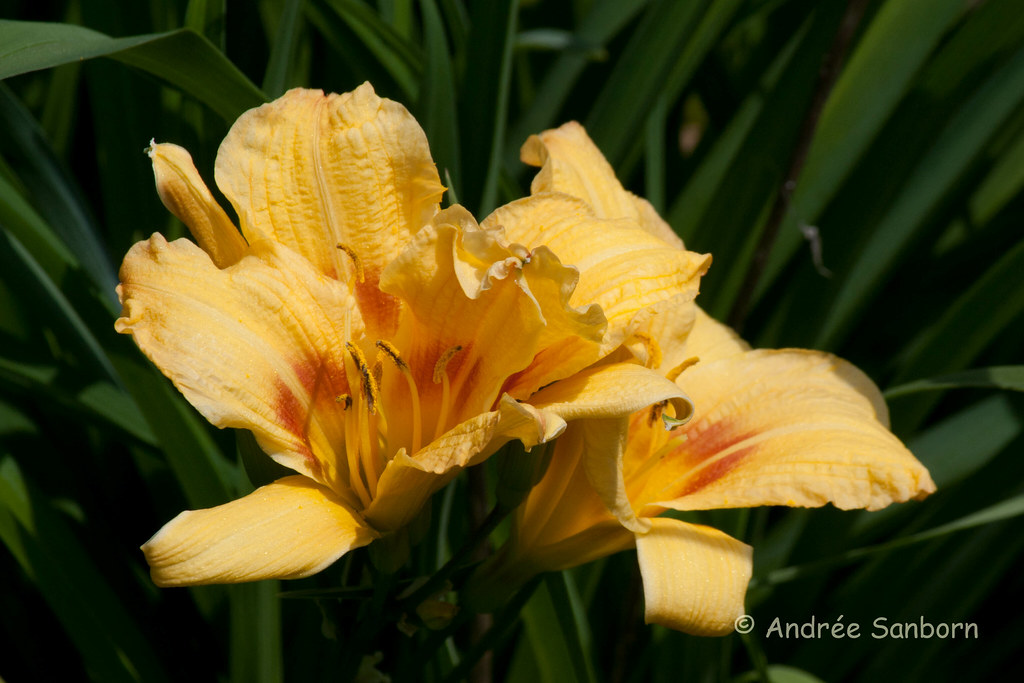 First Day Lilies-1.jpg