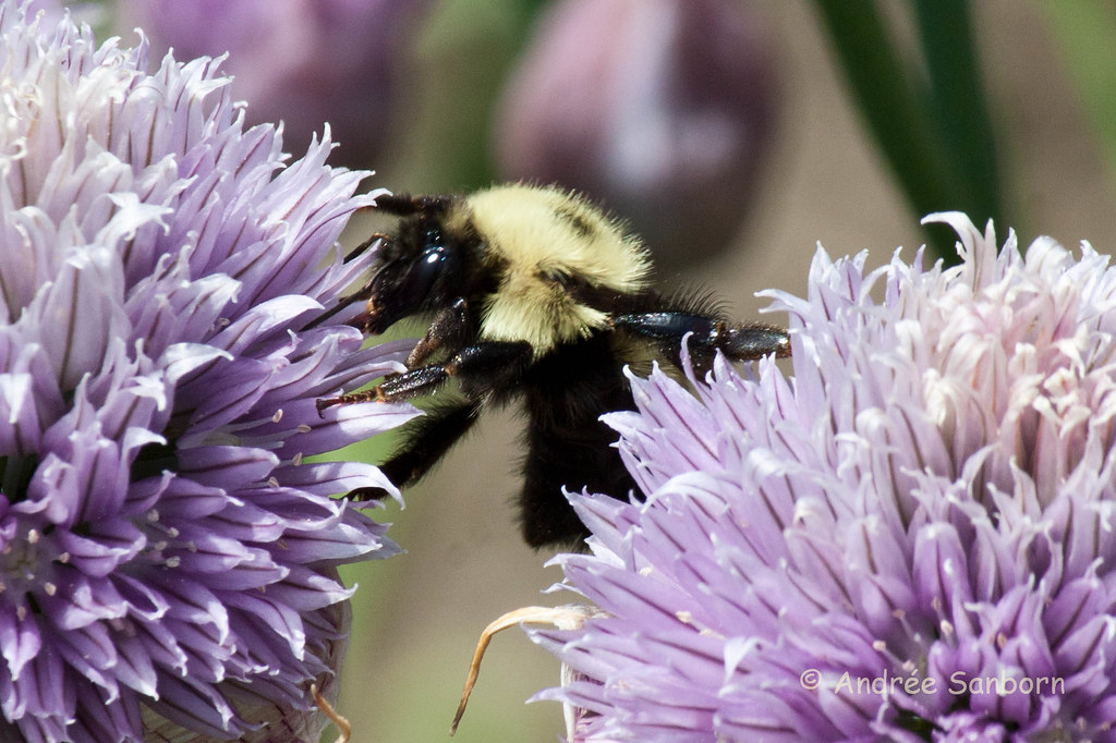 Bumblebee on Chives-5.jpg