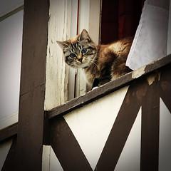 Eye contact (Tico09) Tags: brown eye window animal cat kat belgium belgique belgie ardennen dier raam bruin oog durbuy venster 450d 55250 platinumheartaward