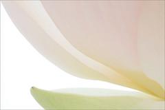 Lotus Flower Petals (Bahman Farzad) Tags: flower petals lotus petal lotuspetal