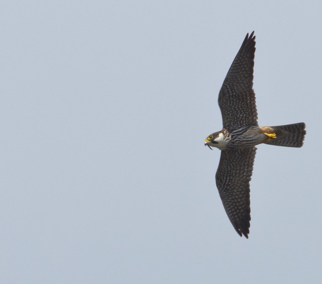 hobby eating dragonfly 4