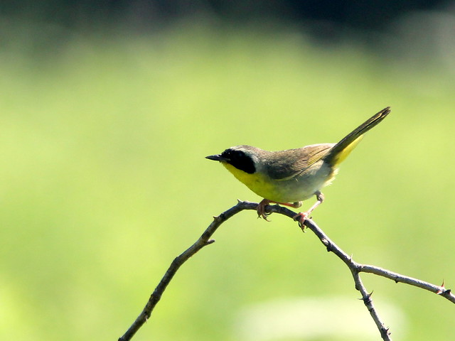 Common Yellowthroat 20110706