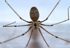 Cellar Spider (pholcus phalangioides) (dangerousdavecarper) Tags: uk macro insect spider nikon norfolk cellar 105mm pholcus phalangioides d5000