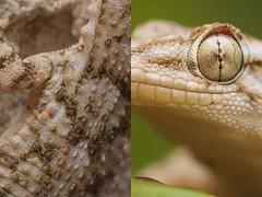 caros en salamanquesa (trebol_a) Tags: reptiles salamanquesa tarentola mauritanica parasitos enfermedades acaros