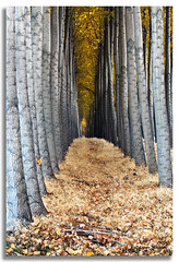 Golden Corridor (walla2chick) Tags: autumn trees usa fall oregon grove or poplars umatilla 7216