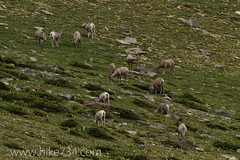 "Bighorn Sheep • <a style=""font-size:0.8em;"" href=""http://www.flickr.com/photos/63501323@N07/7085724751/"" target=""_blank"">View on Flickr</a>"