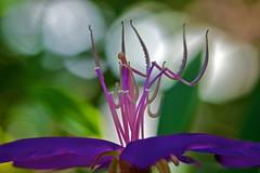 Standing tall (Deb Jones1) Tags: flowers flower macro nature beauty canon garden botanical outdoors flora purple bokeh blooms flickawards debjones1