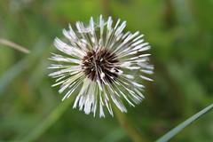 White Dandelion Flower Blowing in The Wind Flower Blow Dandelion