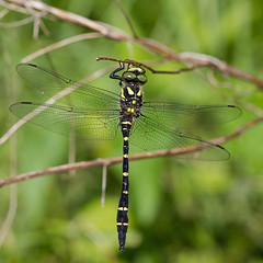 Cordulegaster bidentata (Sinkha63) Tags: france macro male nature animal dragonfly wildlife getty fra gettyimages libellule limousin odonata goldenring beynat anisoptera odonate anisoptère cordulegaster cordulegasterbidentata cordulégastre cordulégastrebidenté sombregoldenring annesorbes