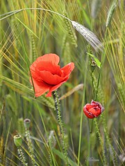 un p di rosso tra le spighe  ... (miriam ulivi) Tags: green nature natura umbria norcia wheatfield nikond3200 spighe  earsofcorn redpoppies papaverirossi campodigrano persephonesgarden