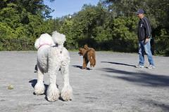 2685 (Jean Arf) Tags: ellison park dogpark rochester ny newyork september autumn fall 2016 poodle dog standardpoodle paul doris gladys