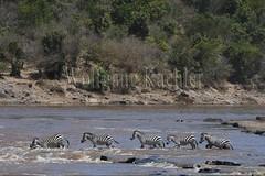 10078287 (wolfgangkaehler) Tags: 2016africa african eastafrica eastafrican kenya kenyan masaimara masaimarakenya masaimaranationalreserve marariver wildlife migration migrating crossing crossingriver crossingstream zebras plainszebrasequusquagga burchellszebra burchellszebraequusquagga burchellszebras