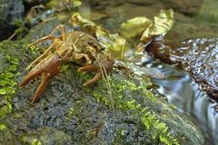 Gambero di fiume (AIIex) Tags: laowa wideangle macro gambero darktable nikon d7100 wildlife wild