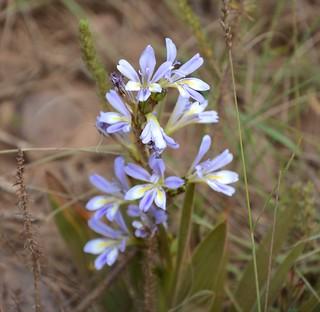 Babiana (Mucronata ?) Gondwana tagged