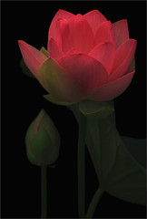Red Lotus Flower - Lo-key - IMG_0091-800 (Bahman Farzad) Tags: flower macro yoga peace lotus relaxing peaceful meditation therapy lotusflower lotuspetal lotuspetals lotusflowerpetals lotusflowerpetal