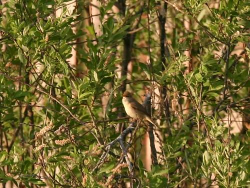 Садовая камышевка