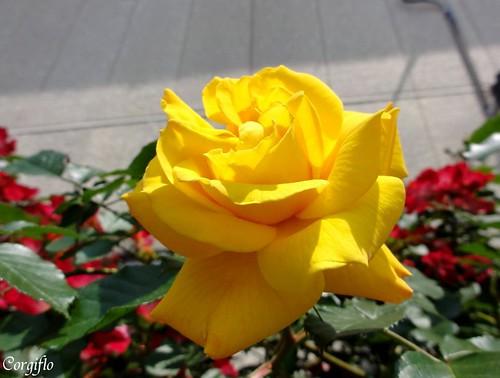 blog-110705-roses-2