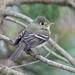 Pacific-slope Flycatcher, Point Reyes, Marin Cty, CA 2009-10-11 (13 of 7).jpg