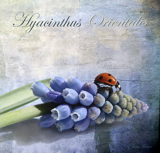 Hyacinthus Orientalis and friend!
