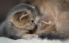 Blue Kitten in Profile (peter_hasselbom) Tags: blue cats cat 50mm kitten f14 naturallight kittens fawn abyssinian twocats 2cats 17daysold 2kittens