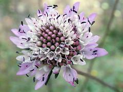 Eine portugiesische Skabiose  (Scabiosa spec.) (fotoculus) Tags: flores portugal marina flora blumen algarve albufeira scabiosa