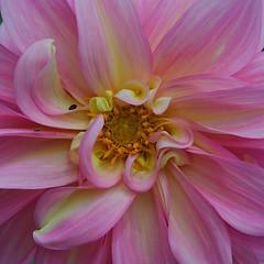 Centre stage (Deb Jones1) Tags: pink flowers flower nature beauty canon garden botanical outdoors flora squareformat blooms dalhia flickrawards debjones1
