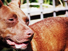 (the fragile.) Tags: red portrait dog nose mix pitbull terrier american panting staffie staffordshirebullterrier apbt