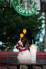 Ginger at Starbucks #Flickr12Days (WabbyTwaxx) Tags: highqualitydogs highqualityanimals flickr12days