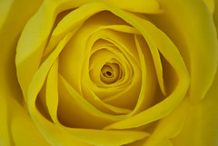 A rose by any other colour (MarkE_T) Tags: macro sigma2880mmf3556minimacrozoom yellow flowersplants stilllife