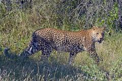 DSC_4839 (Arno Meintjes Wildlife) Tags: africa nature animal southafrica wildlife safari leopard krugerpark arnomeintjes
